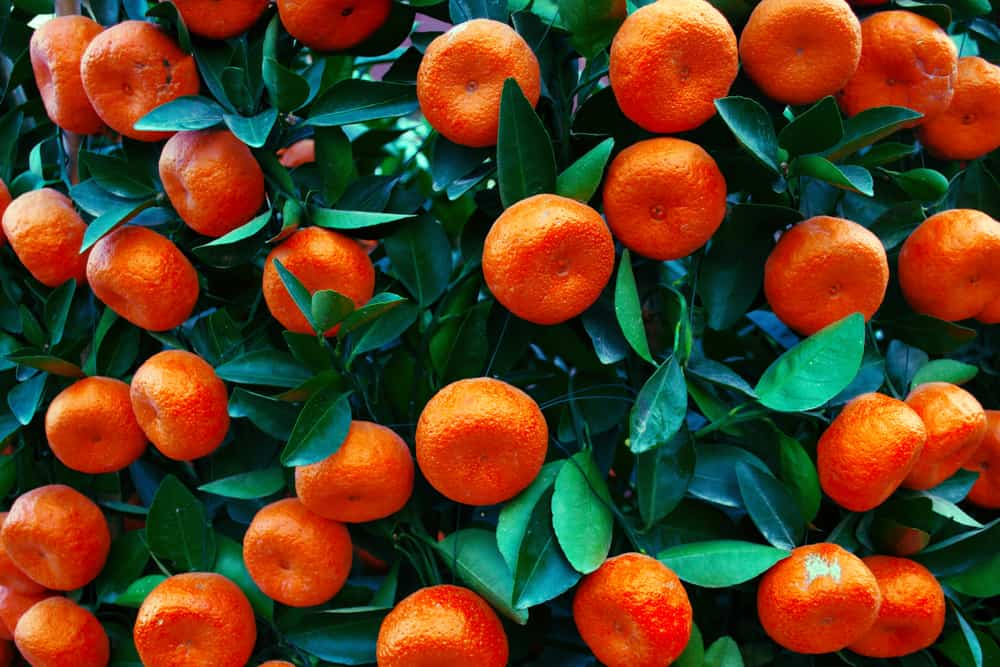 This is a close look at a bunch of Mandarine oranges ready to be harvested.