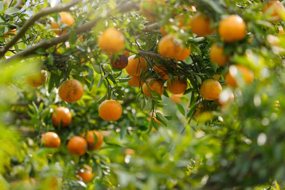 These are ripe oranges hanging from the tree.