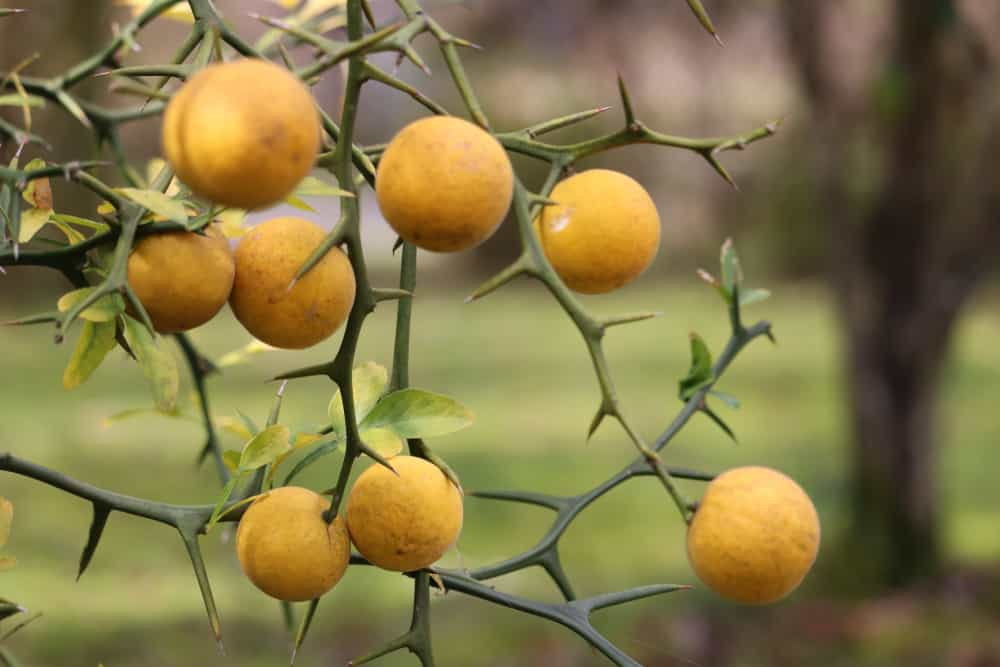 Ripe trifoliate oranges ready to be harvested from its tree.