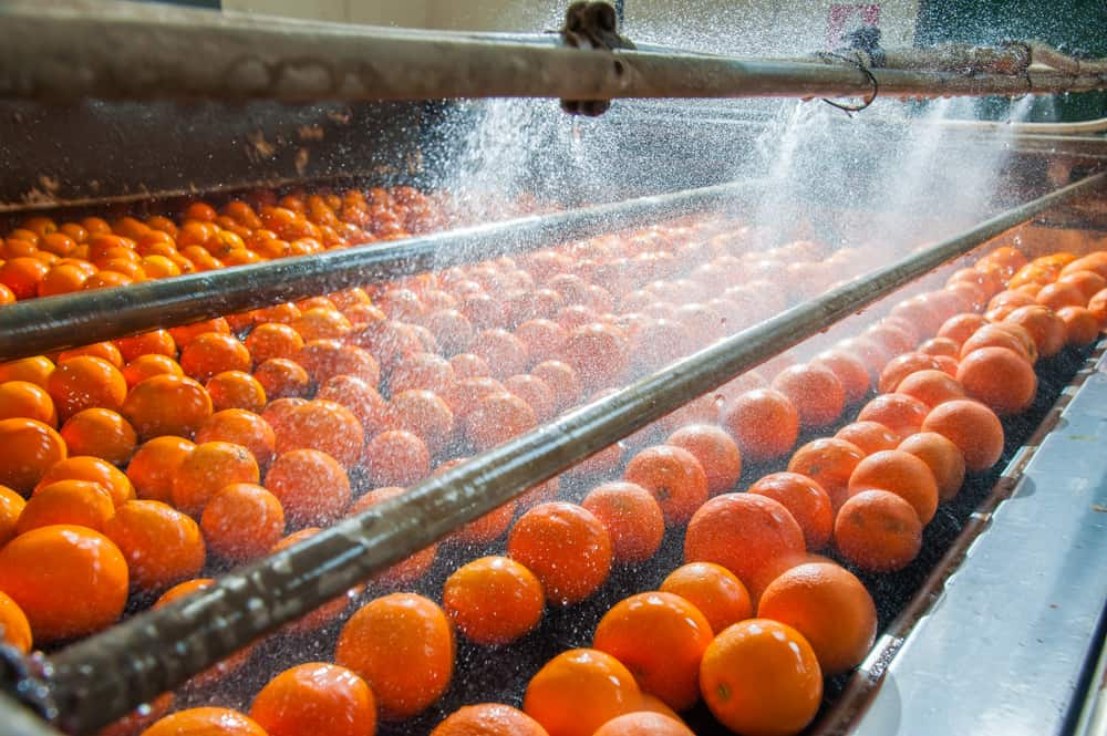 The freshly harvested oranges are washed at the farm on a moving machine.