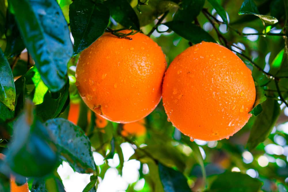 These are ripe navel oranges ready to be harvested from the tree.