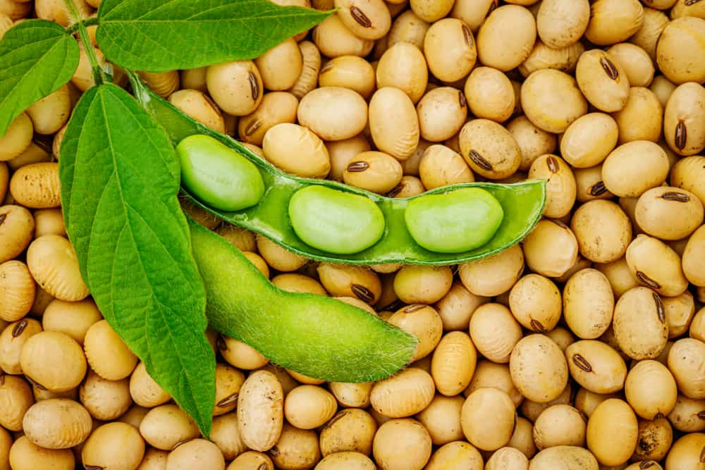 This is a close look at a bunch of raw soy beans.