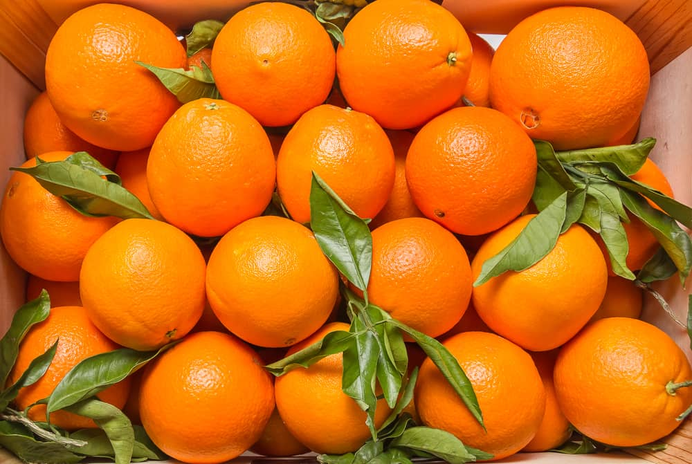 These are freshly harvested Valencia oranges with leaves.