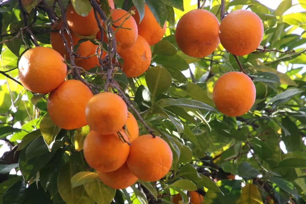 These are ripe Seville oranges ready to be harvested.