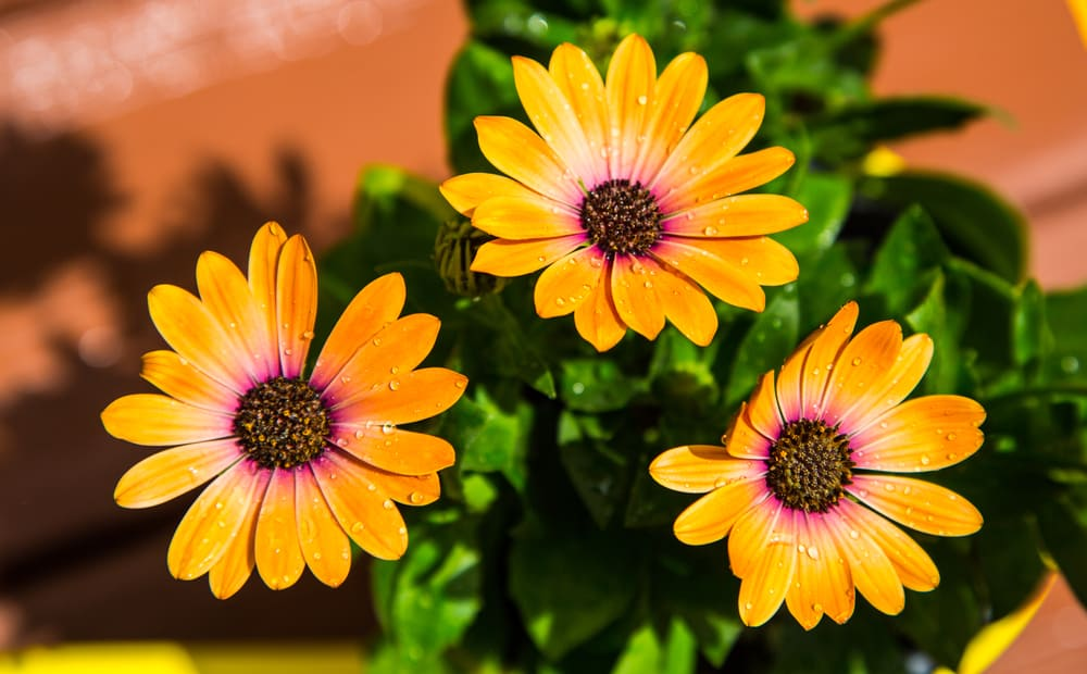 Close-up of African daisy flowers with orange velvety petals covered in dew.