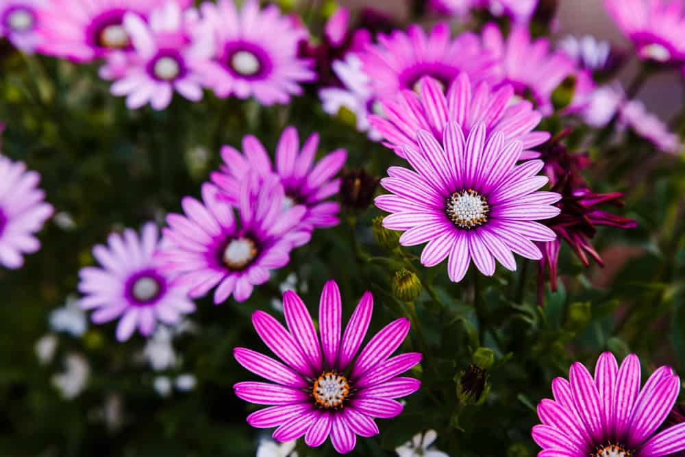 African daisies with striped purple flowers blooming in a spring garden.