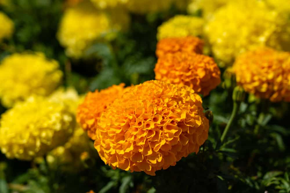 Close-up of African marigolds with clusters of yellow and orange blooms.