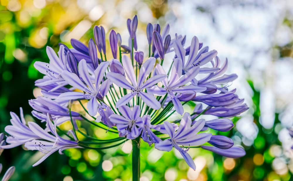 Macro photo of agapanthus plant with purple flowers clustered atop of its long stem.