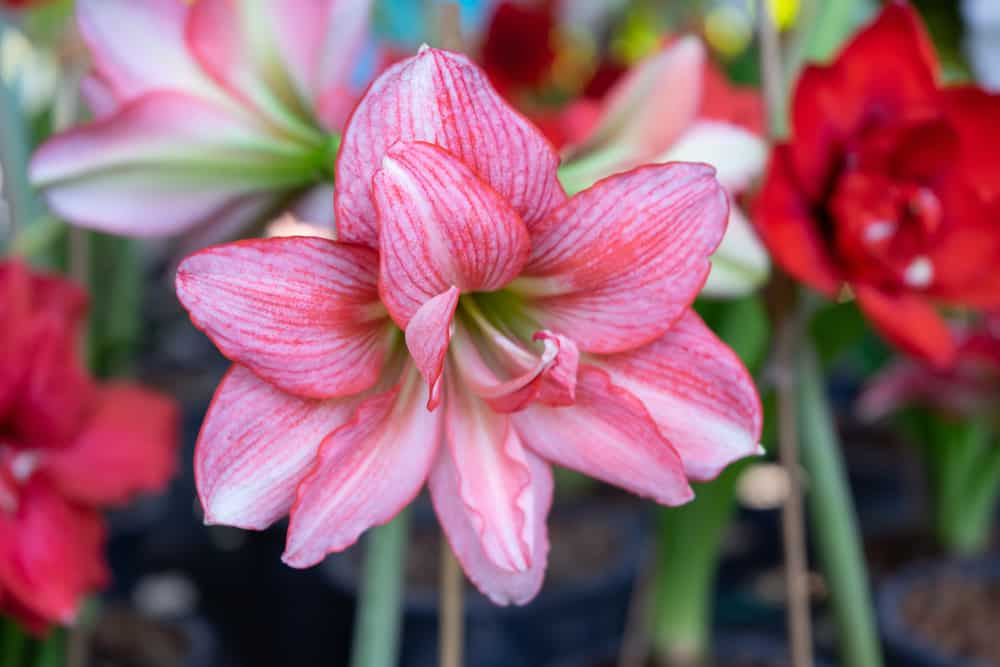 Close-up of pink amaryllis with double flowers blooming in a garden.