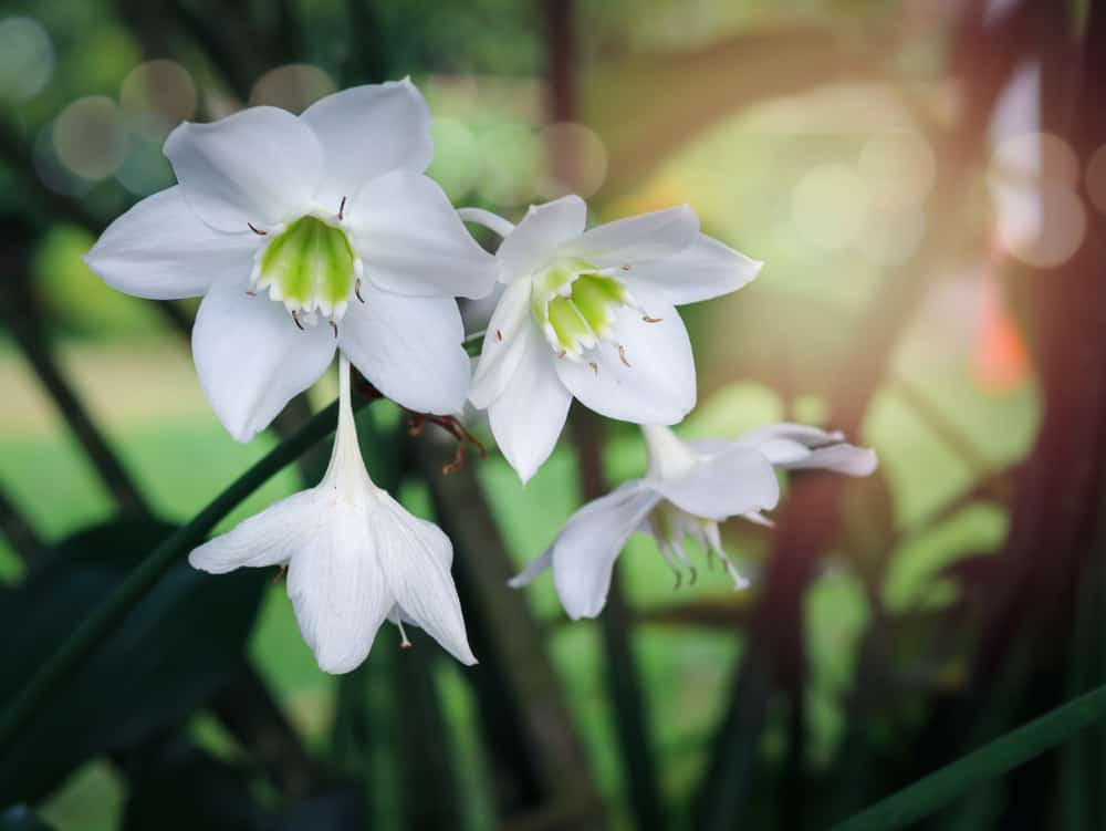 Amazon lilies with pristine white flowers growing in a spring garden.