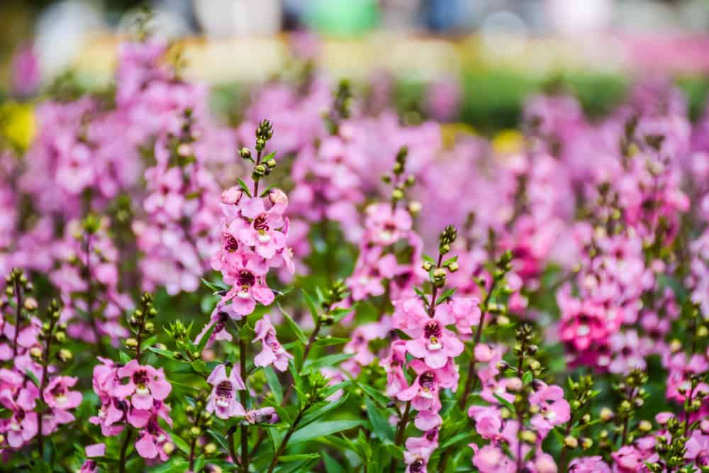 Angelonia plant with pink tubular flowers growing in a garden.