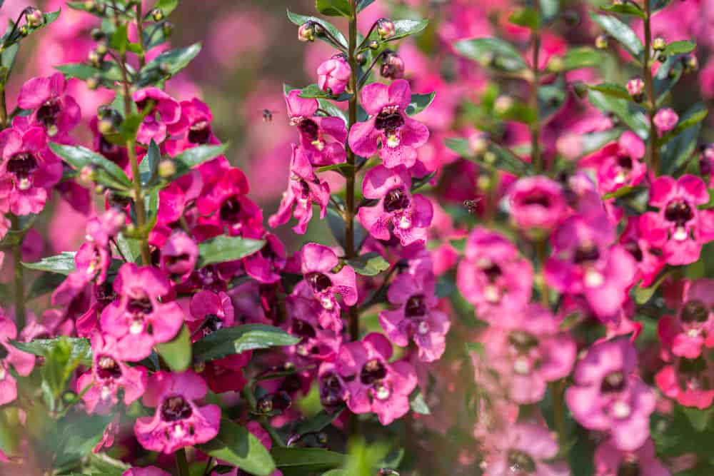 Close-up of Angelonia plants with tall spikes of pink blossoms growing in a summer garden.