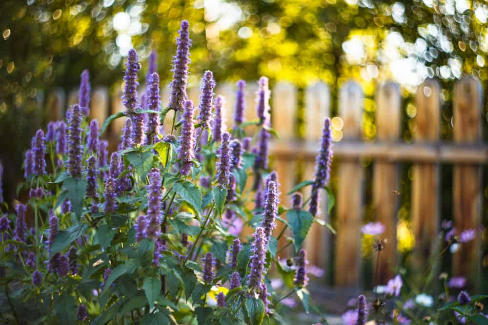Beautiful towers of anise hyssop flowers growing in the sun in front of a wooden fence in the sunlight