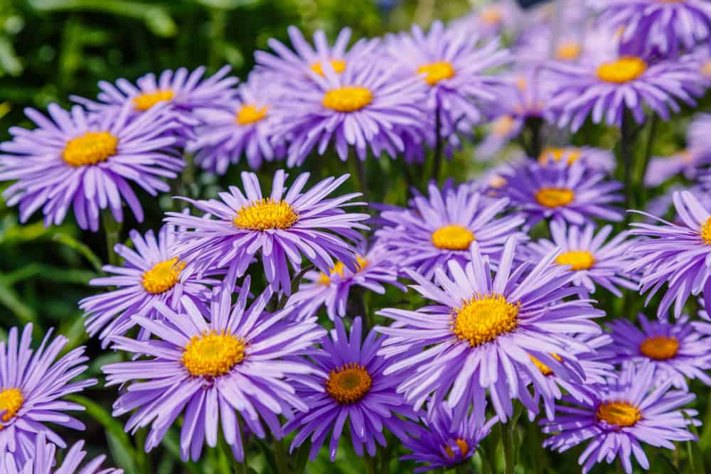 Alpine aster plant with purple flowers accentuated with yellow centers.