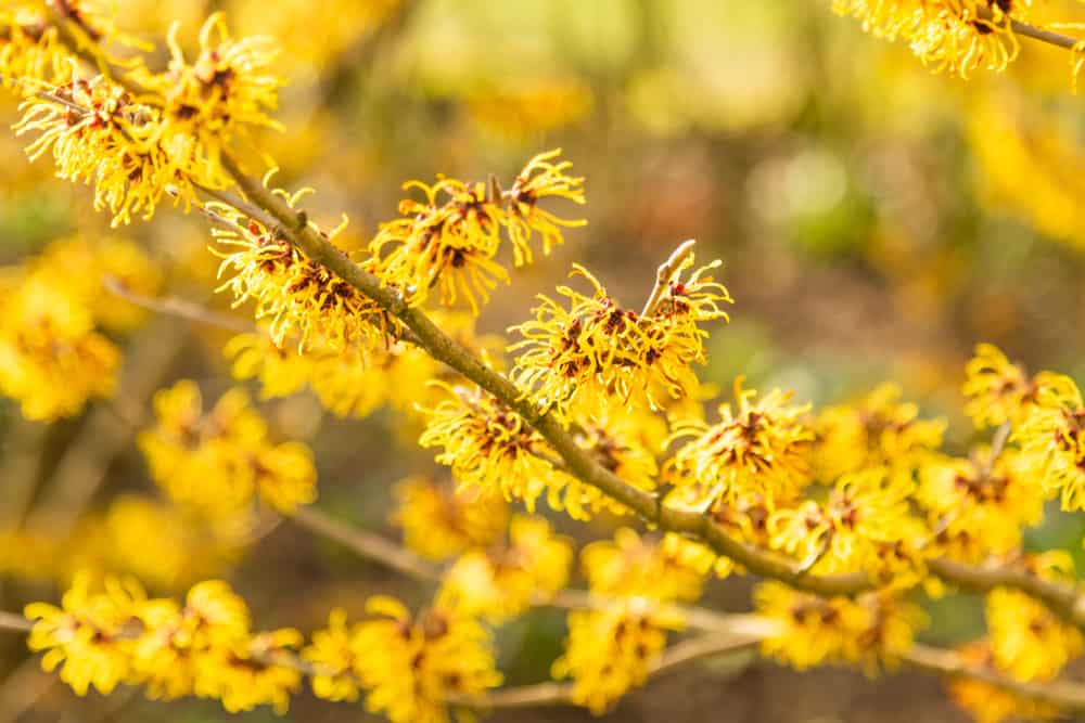 Close-up of aurora witch hazel with spidery, yellow blossoms accentuated with red tints.