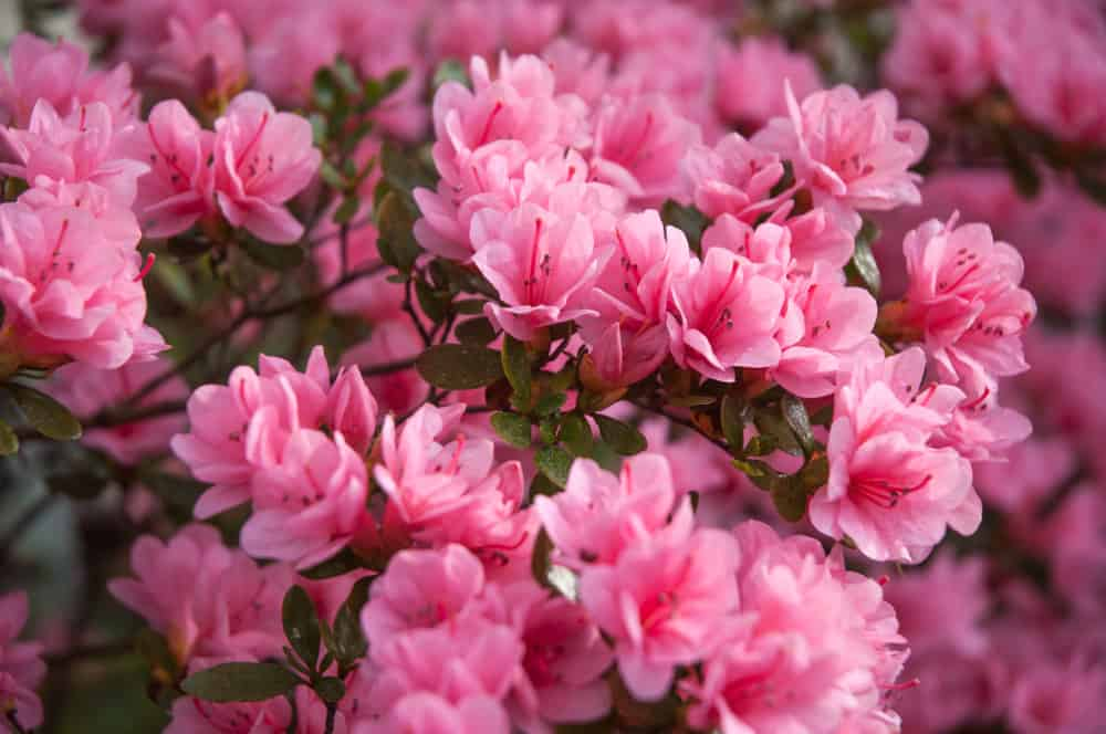 Blooming azaleas with pink petals and stamens clustered on its thin stems.