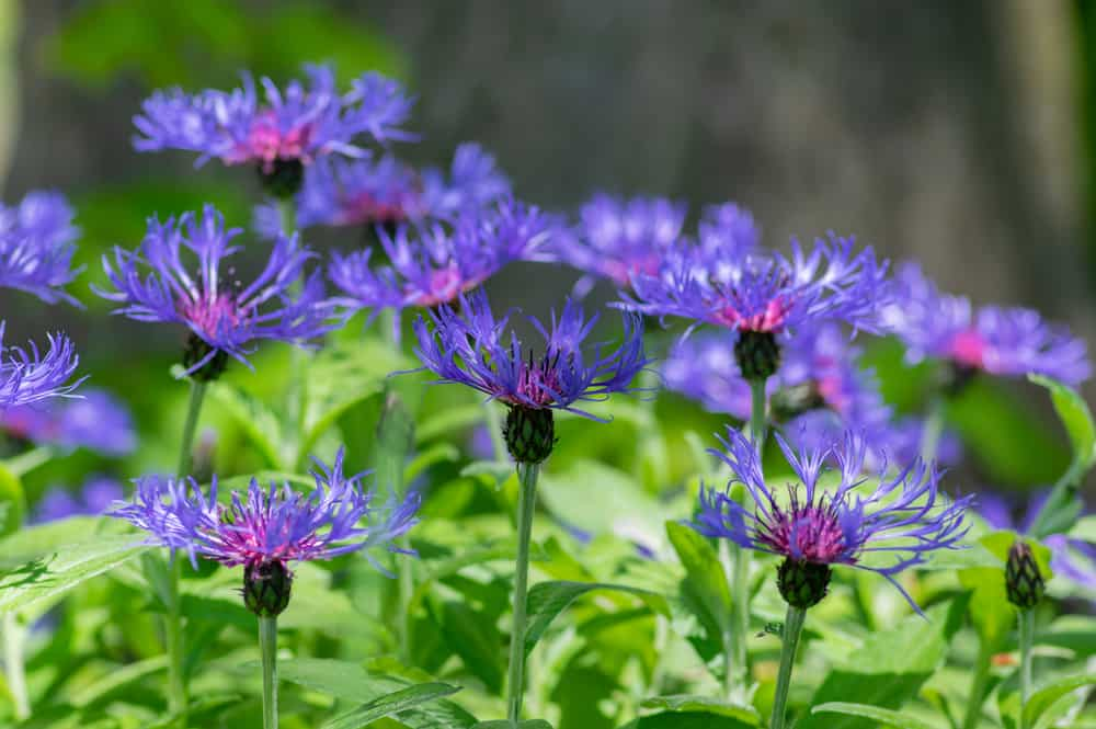 Bachelor buttons with purple fringed flowers growing in a garden.
