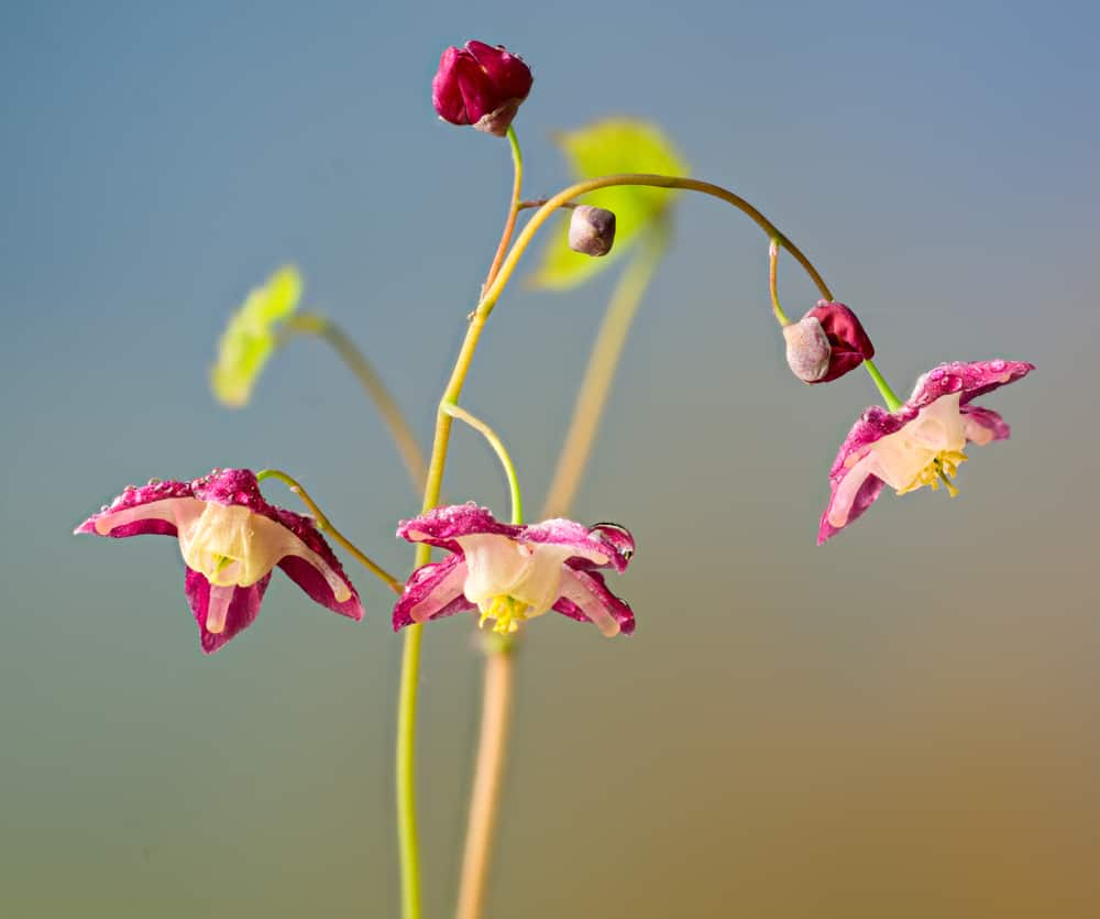 Macro shot of barrenwort tiny, pink blooms with bokeh background.