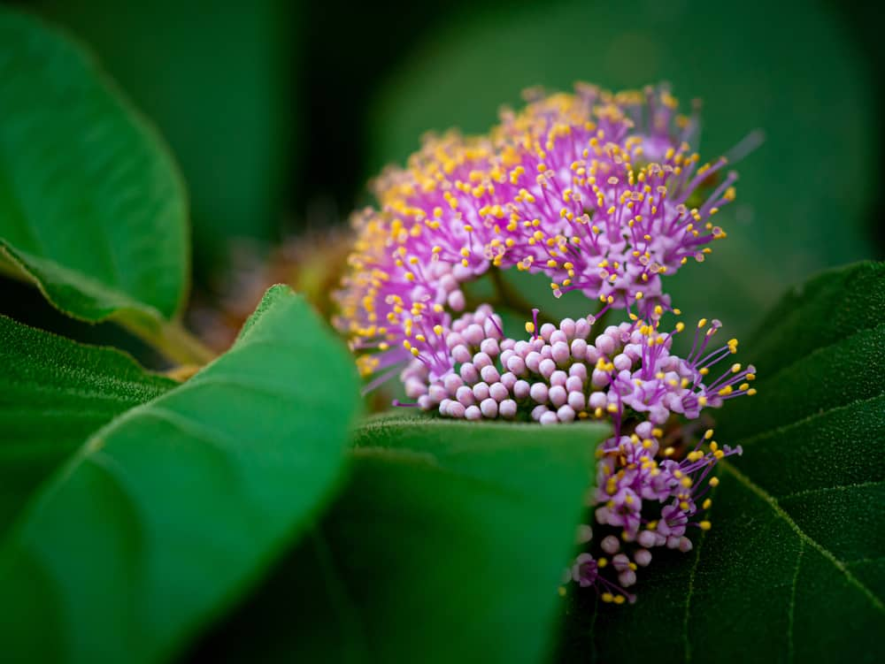 Macro photo of beautyberry with large, green leaves and purple blossoms accentuated with yellow pollens.