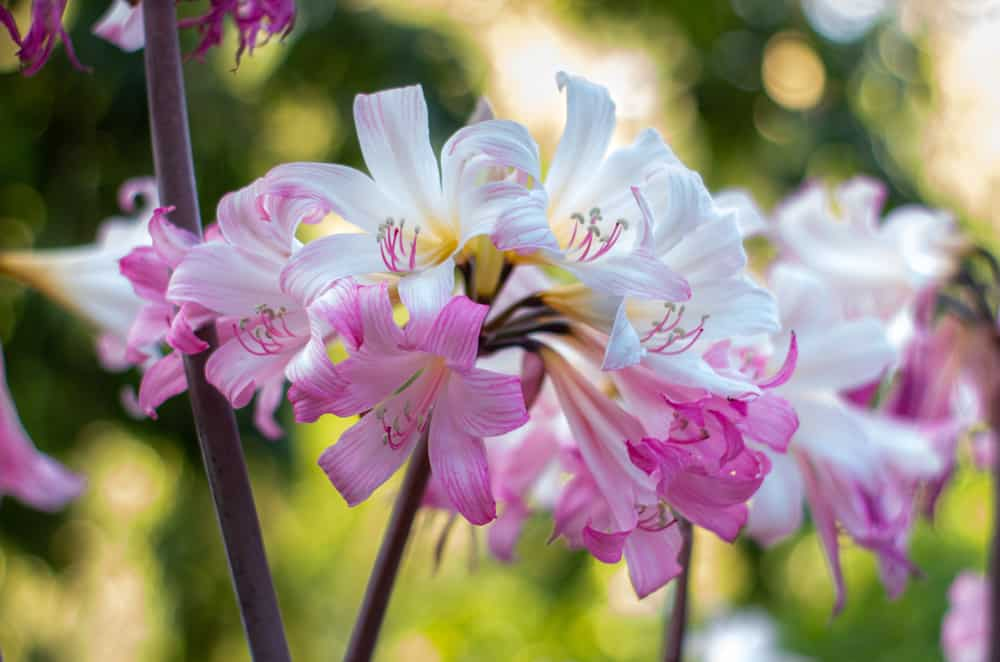Pink and white flowers of a belladonna lily blooming on top of its long burgundy stalks.