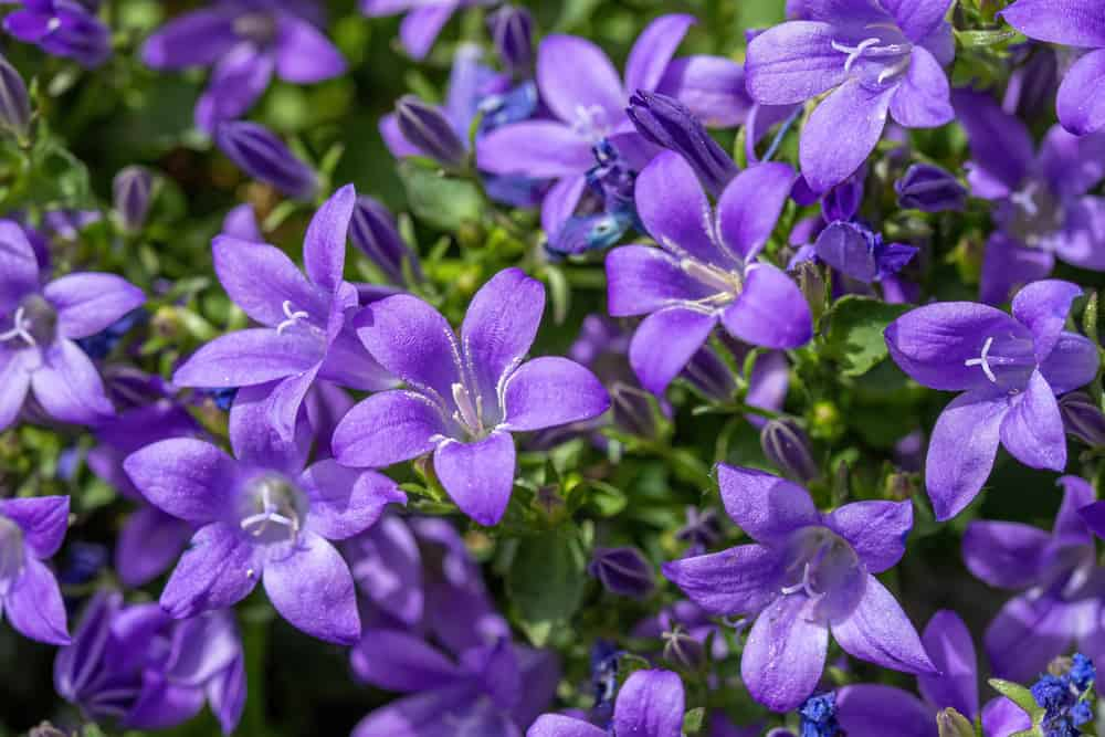 Bellflowers with masses of purple blooms growing in a summer garden.