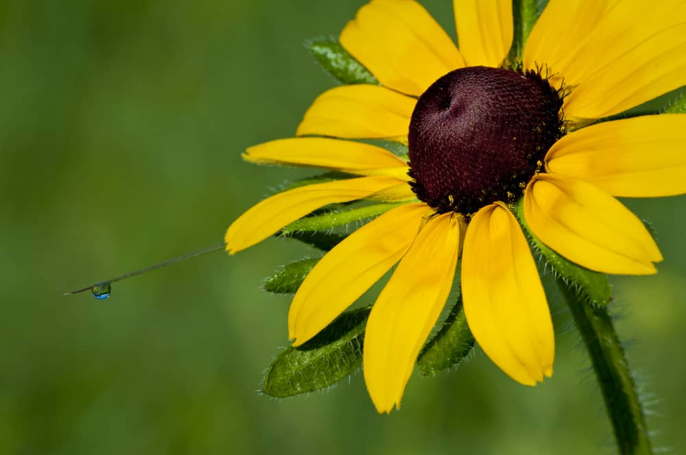 Macro photo of a black-eyed Susan with morning dew.