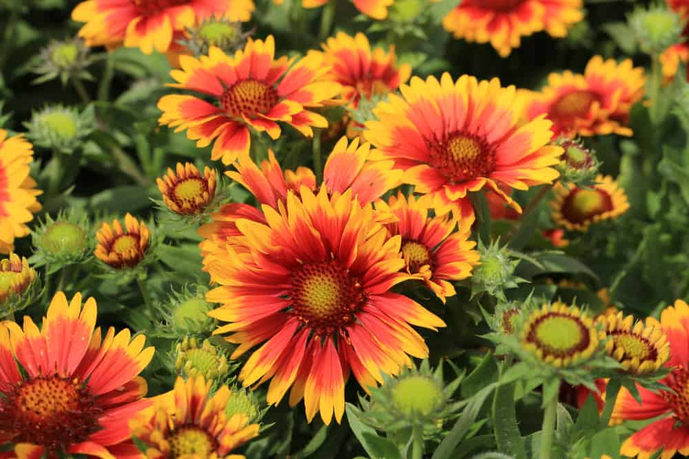 Blanket flowers with bright orange blooms graced with center discs.