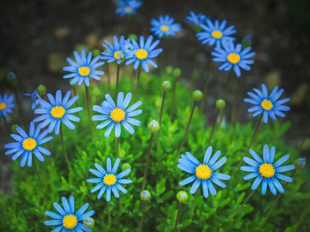 Blue marguerite daisies with masses of blue flowers sitting atop its long stems.