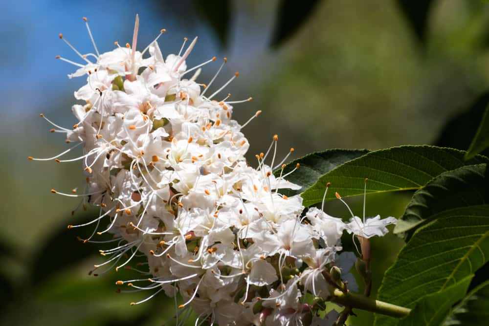 California buckeye with clustered creamy white florets and spidery anthers.