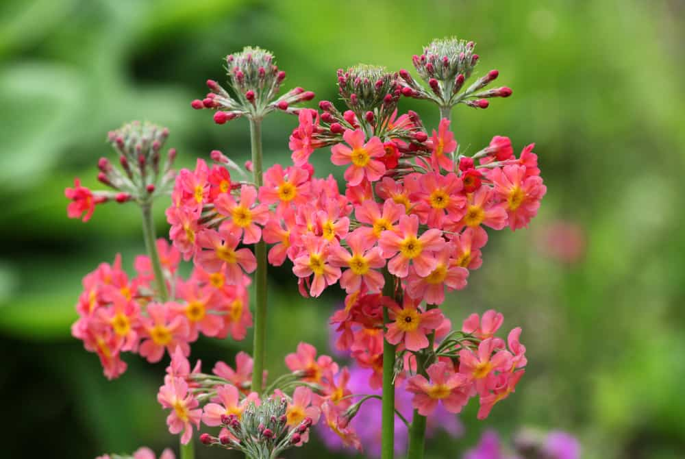 Close-up of candelabra primrose with clusters of peach blossoms accentuated with yellow centers.