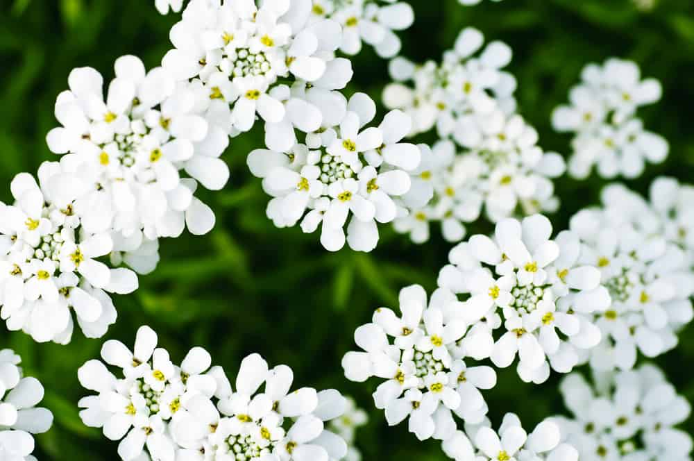 Candytuft with pristine white flowers highlighted with yellow dots.