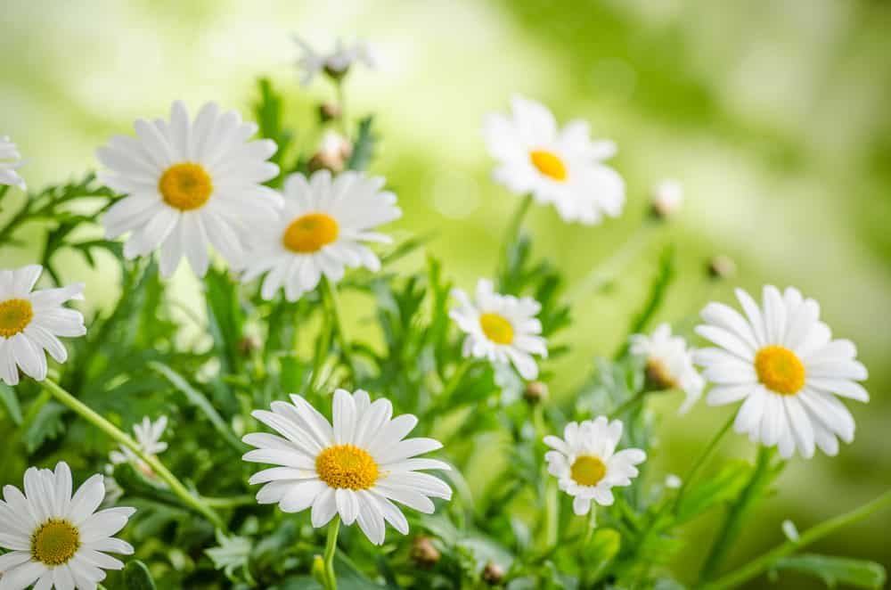 A garden of chamomile plants with pristine white blossoms and yellow centers.