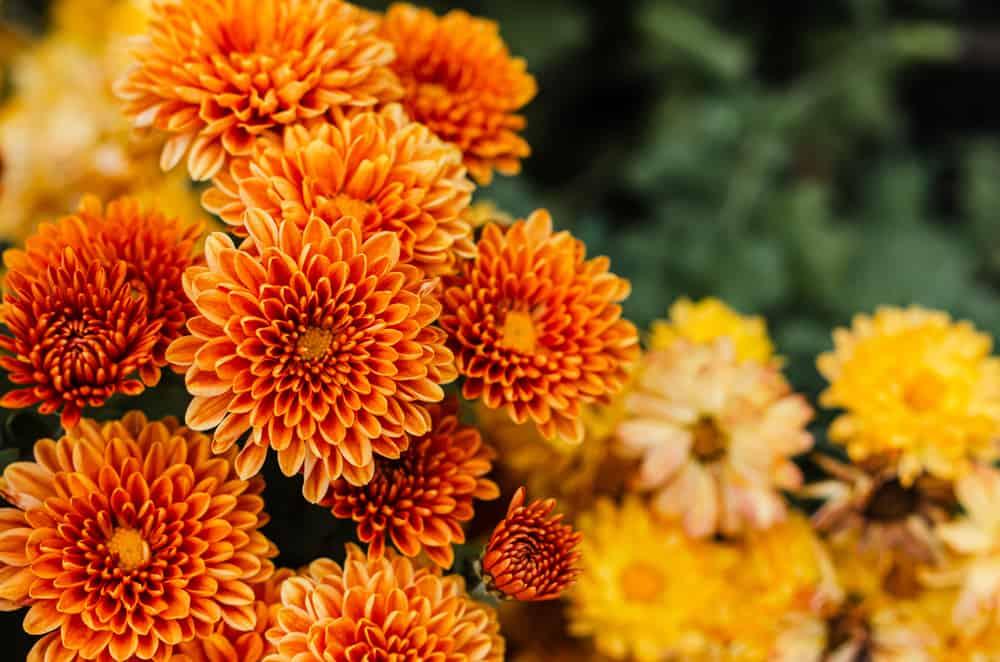 Vivid range blooms of chrysanthemums growing in a summer garden.