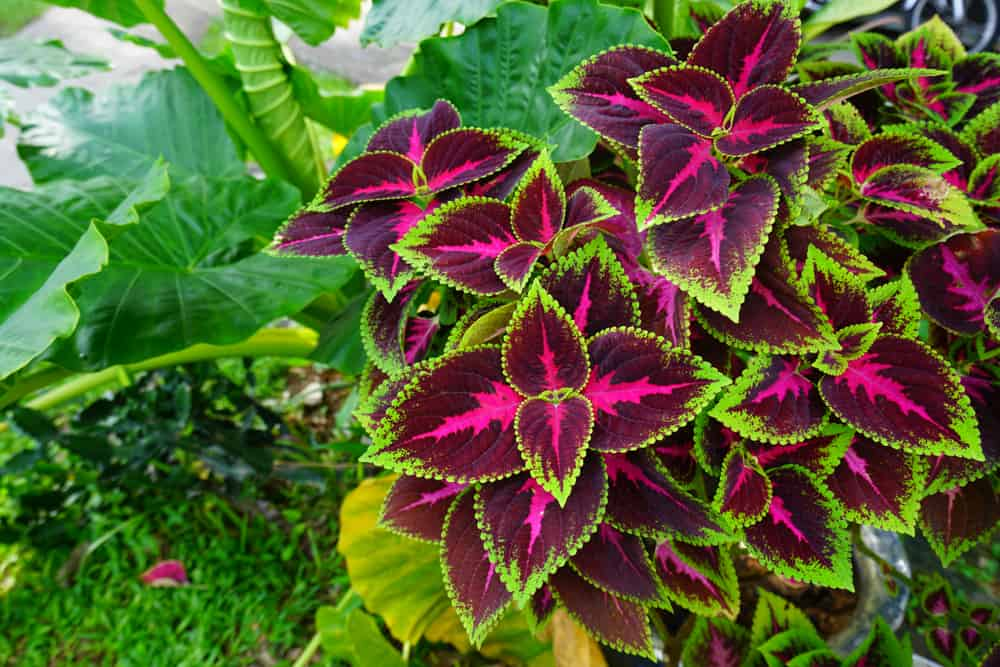 Coleus with striking burgundy foliage accentuated with green trims.