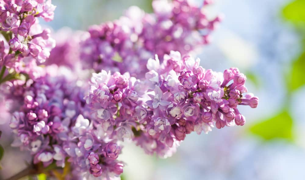 Common lilac with panicles of lavender florets against a blurred background.