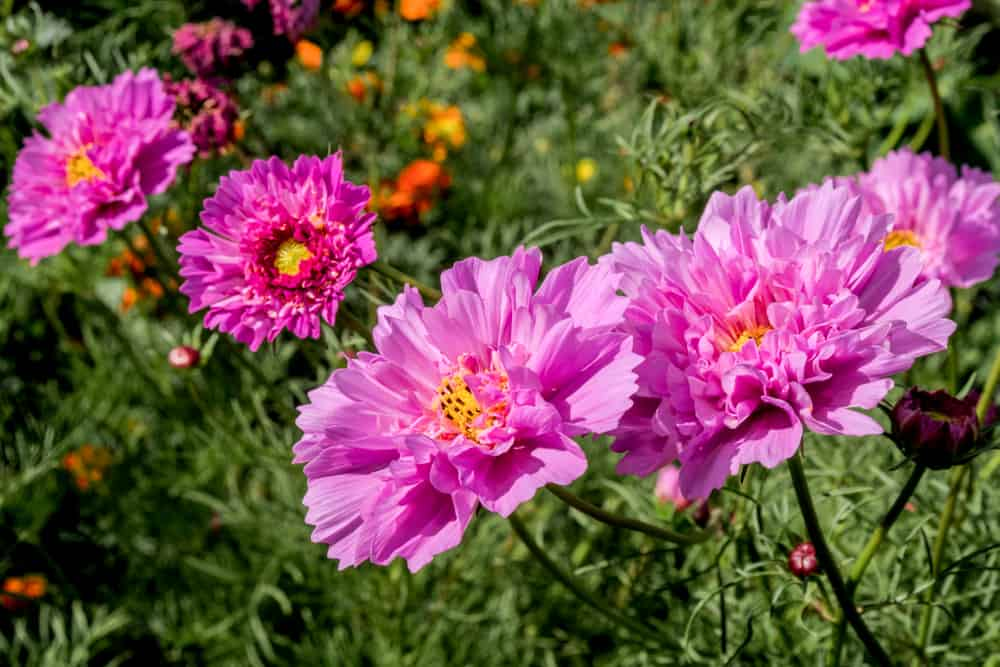 Cosmos showcasing it ruffled, pink blossoms with yellow centers and strappy leaves.