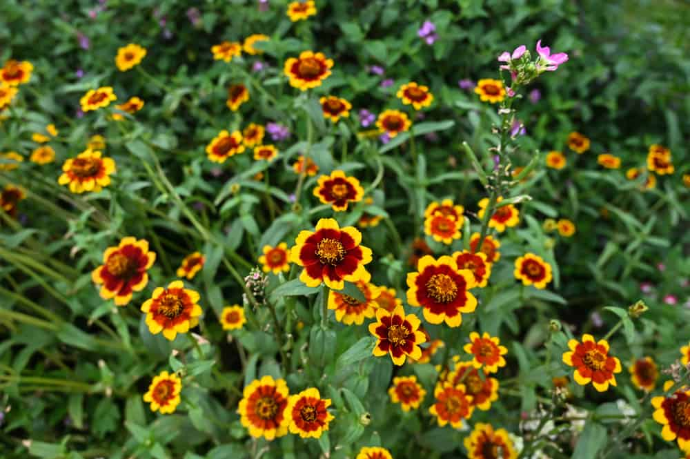Tiny blooms of cosmos in yellow and burgundy hues.