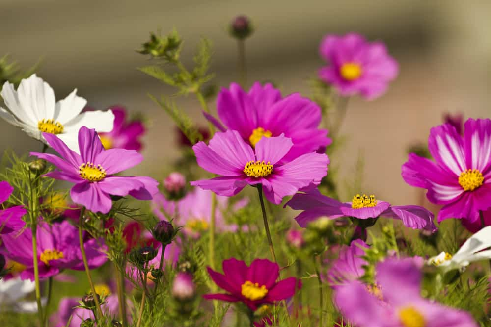 Cosmos with pink and white daisy-like blooms growing in a summer garden.