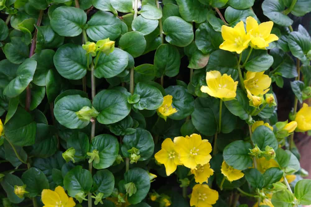 Close-up of creeping Jenny plant with small, rounded leaves and golden yellow blooms.