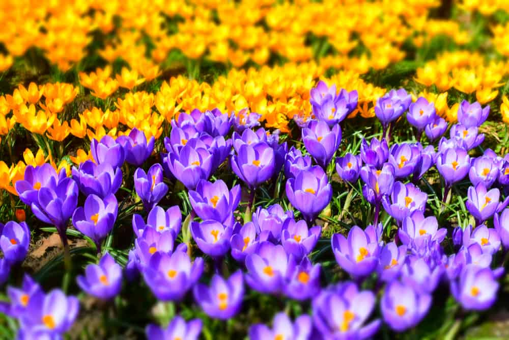 Tons of crocus flowers in yellow and purple hues growing in a summer garden.