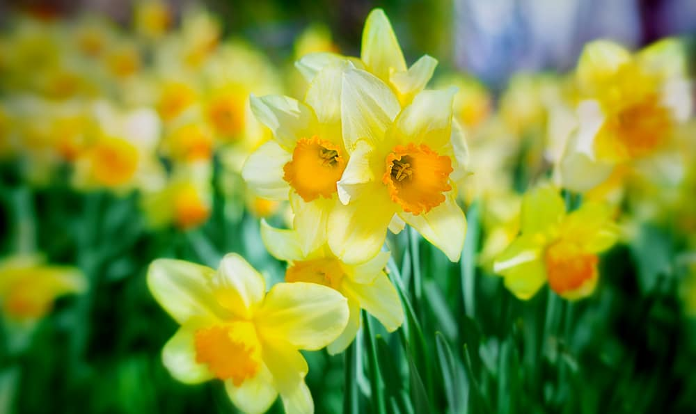 Bright yellow flowers of daffodils with orange centers blooming in a summer garden.