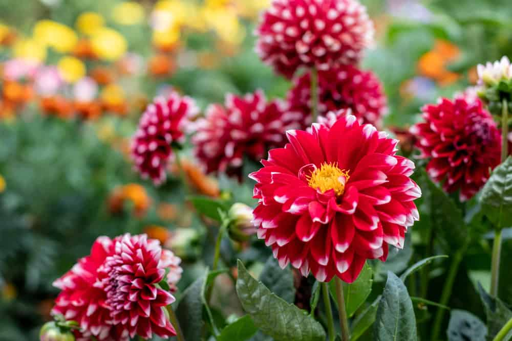 Close-up of dahlia flowers with layered red petals highlighted with white trims and yellow centers.