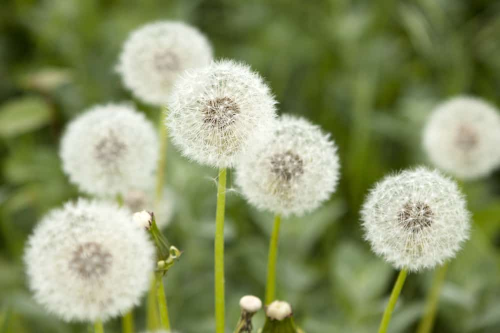 Dandelions with white pom-pom blooms attached to its yellow green stalks.