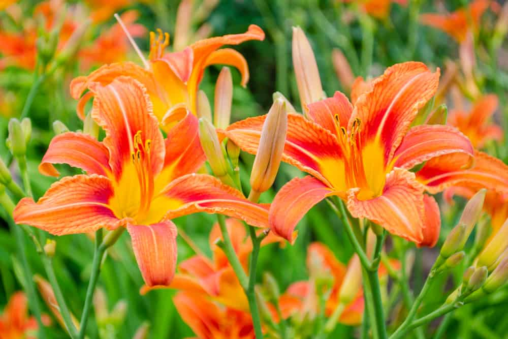 Close-up of daylily with large orange blooms and bright green foliage.