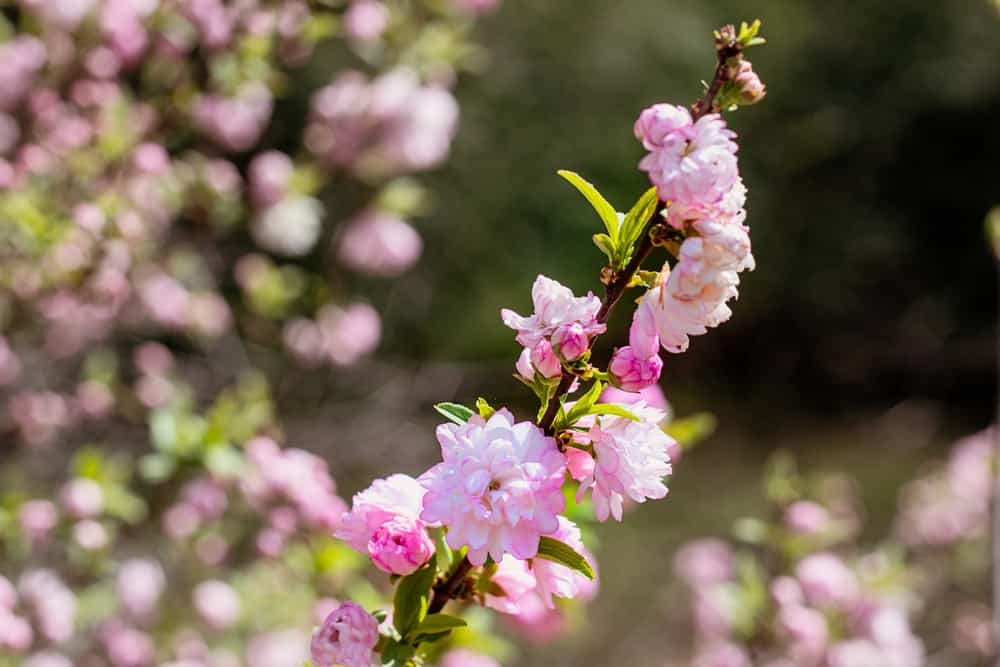 Double-layered pink blossoms of a dwarf flowering almond clustered on its long, slender stem.