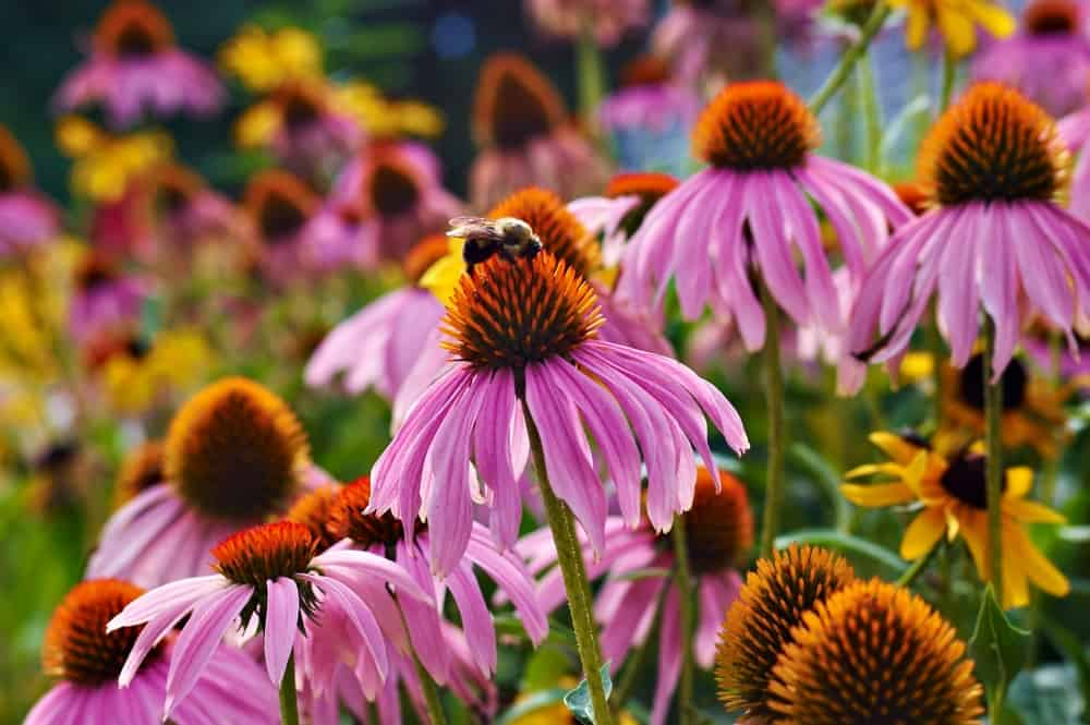 A bee collecting pollen from one of the purple coneflowers growing in a summer garden.