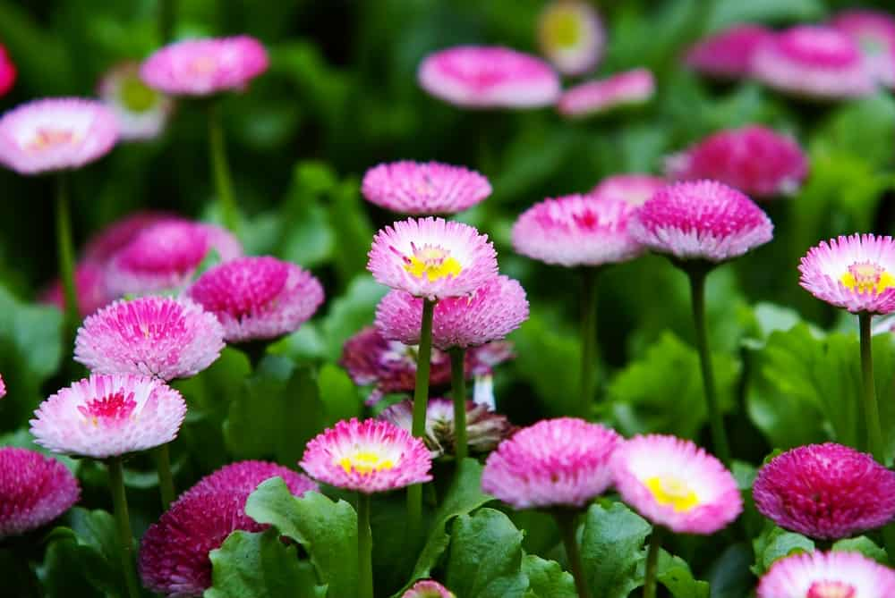 Masses of English daisy pink flowers blooming in a garden.