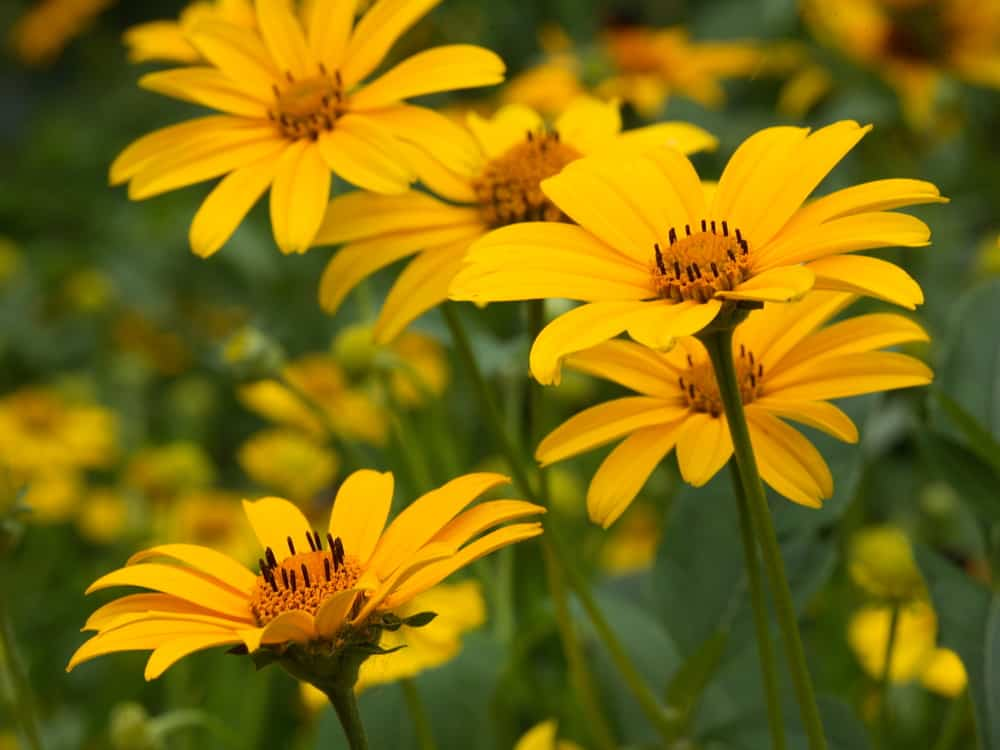 Close-up of false sunflower with bright tellow blooms and slender green stems.