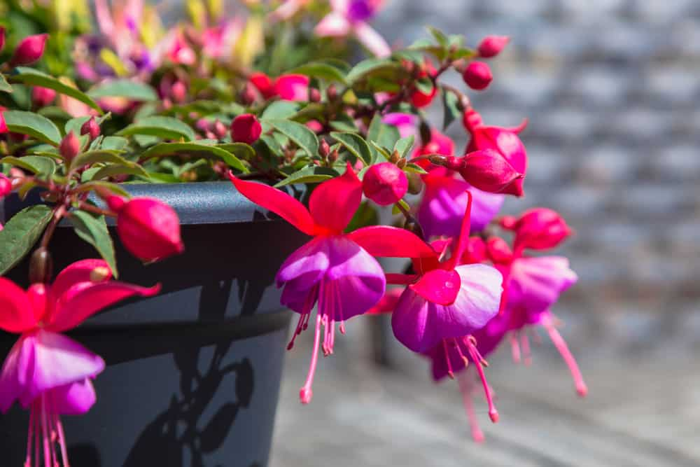 Macro shot of fuchsia flowers with tiny, ballerina-like blooms growing in a black pot.