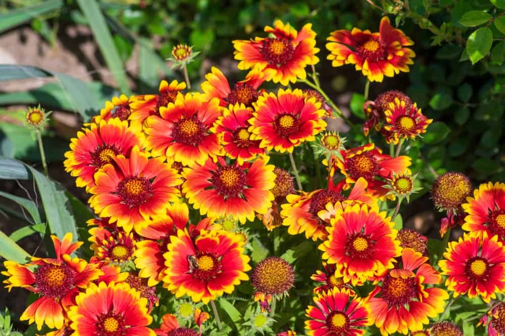 Orange blooms of gaillardia daisy accentuated with yellow trims and bicolored centers.
